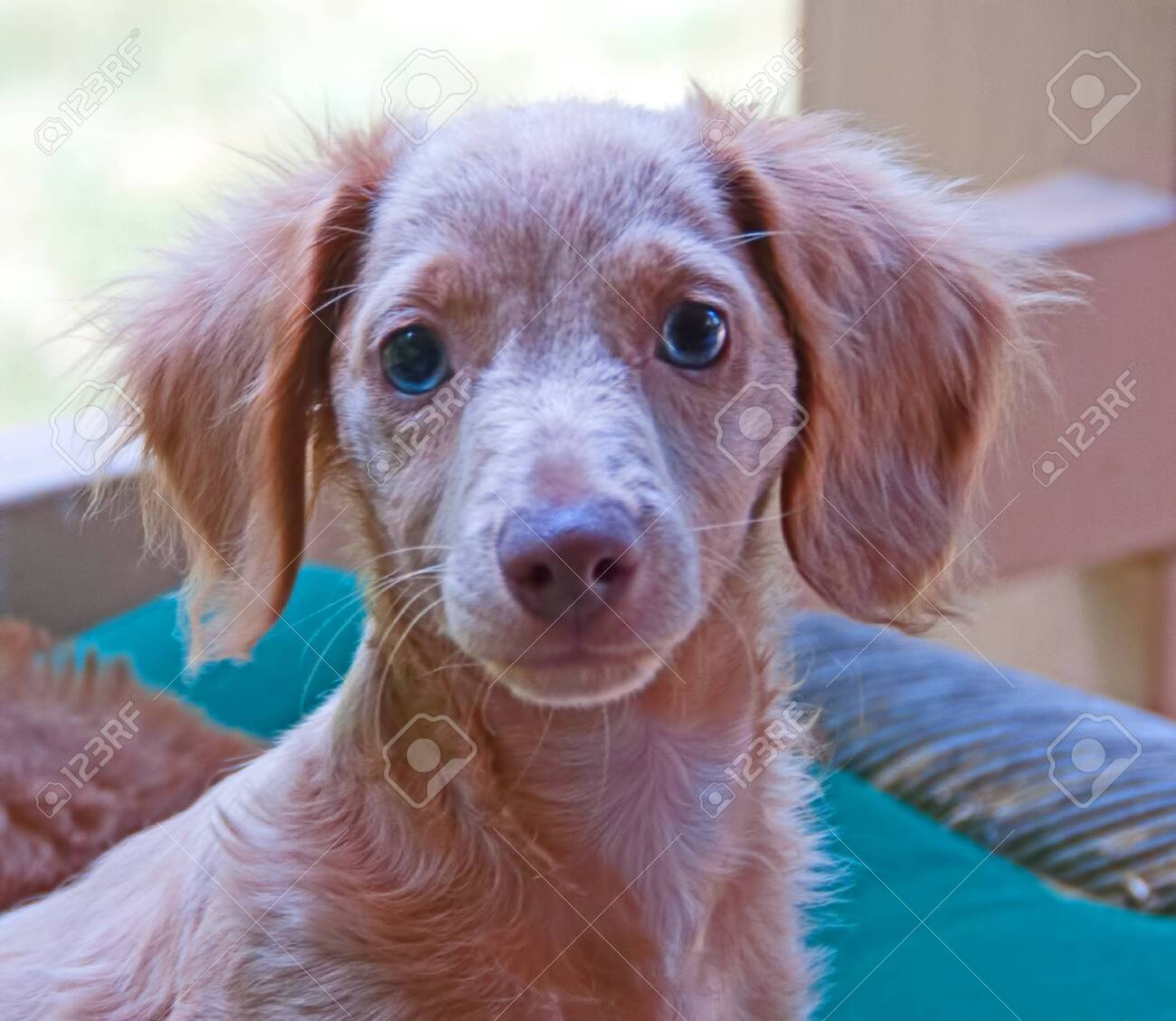 Photograph Of A Blonde Blue Eyed Longhair Dachshund Puppy Stock Photo Picture And Royalty Free Image Image 133032969