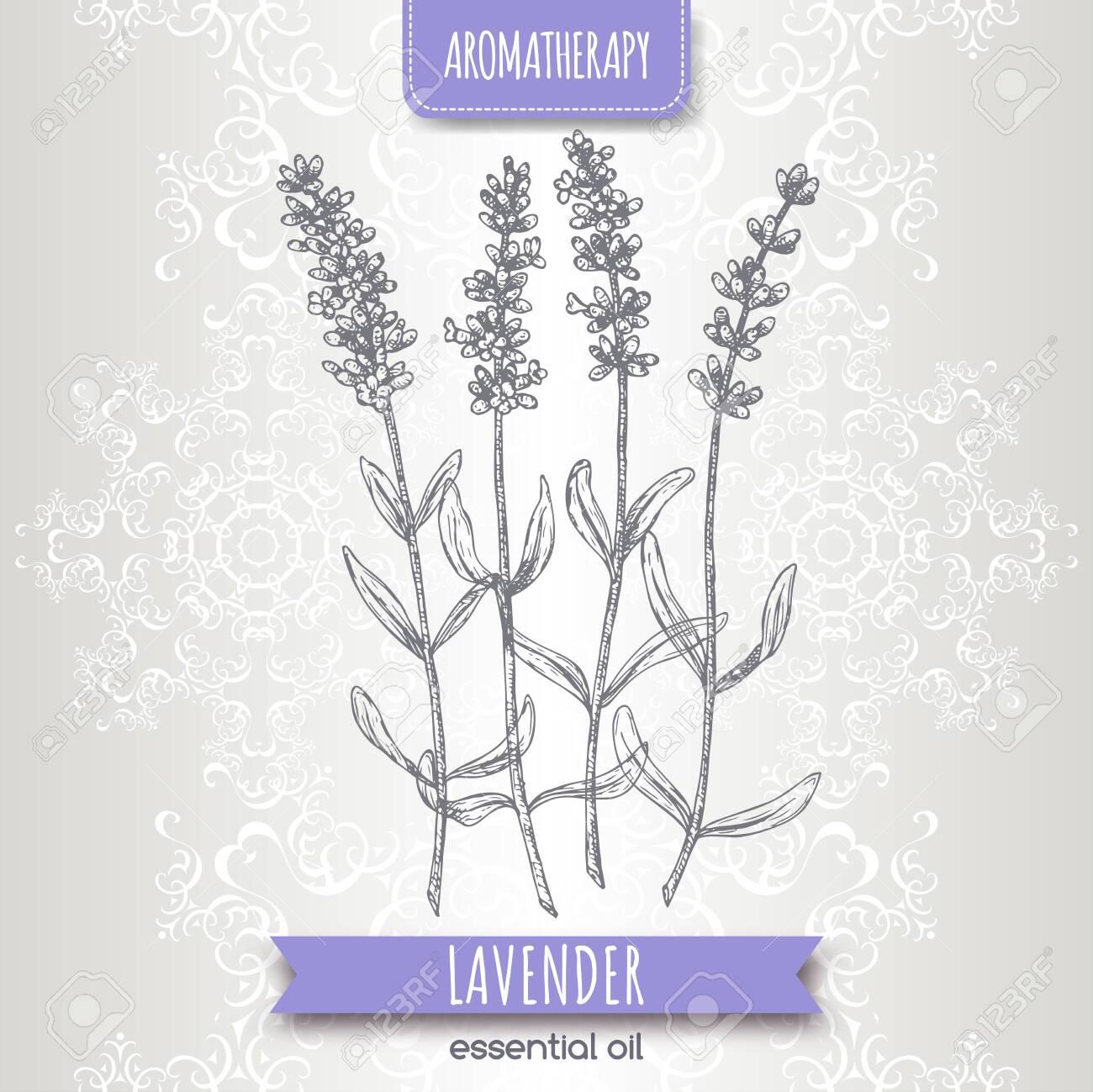 Lavender aka Lavandula angustifolia sketch on elegant lace background. - 156283719