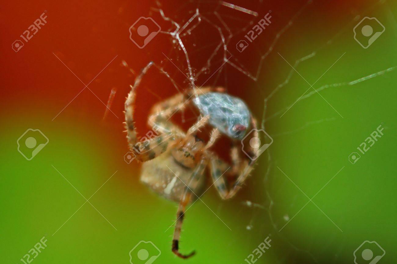 The European Garden Spider (Araneus Diadematus) Or Diadem Spider ...