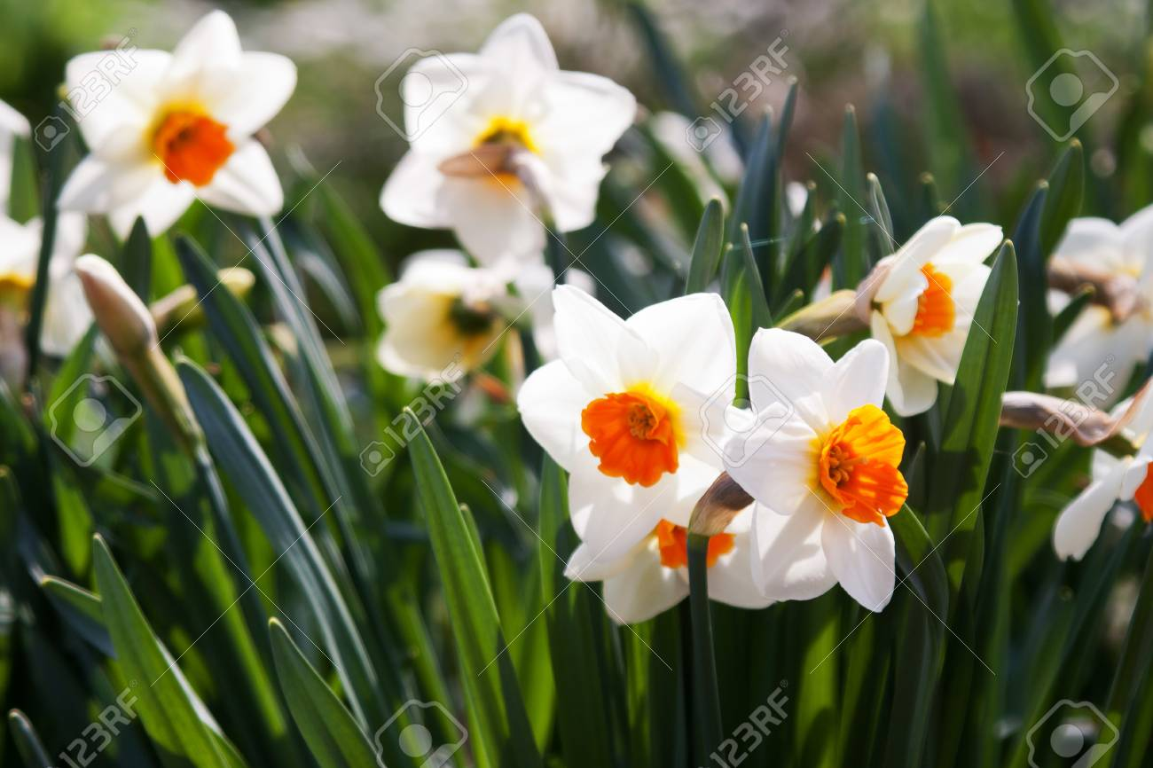 Daffodil (Narcissus) in spring, photographed in April 2011, near Frankfurt am Main, Germany Stock Photo - 12898986