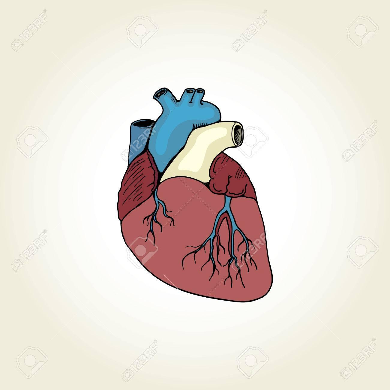 Ungewöhnlich Anatomie Des Fetalen Herzens Bilder - Anatomie Ideen ...