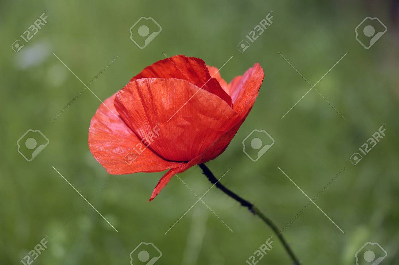 red weed flower with blurry green background stock photo picture