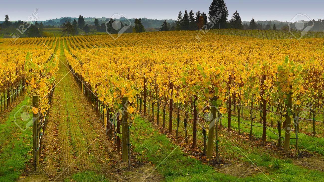 Vineyard in autumn, Napa Valley, California Standard-Bild - 17070286