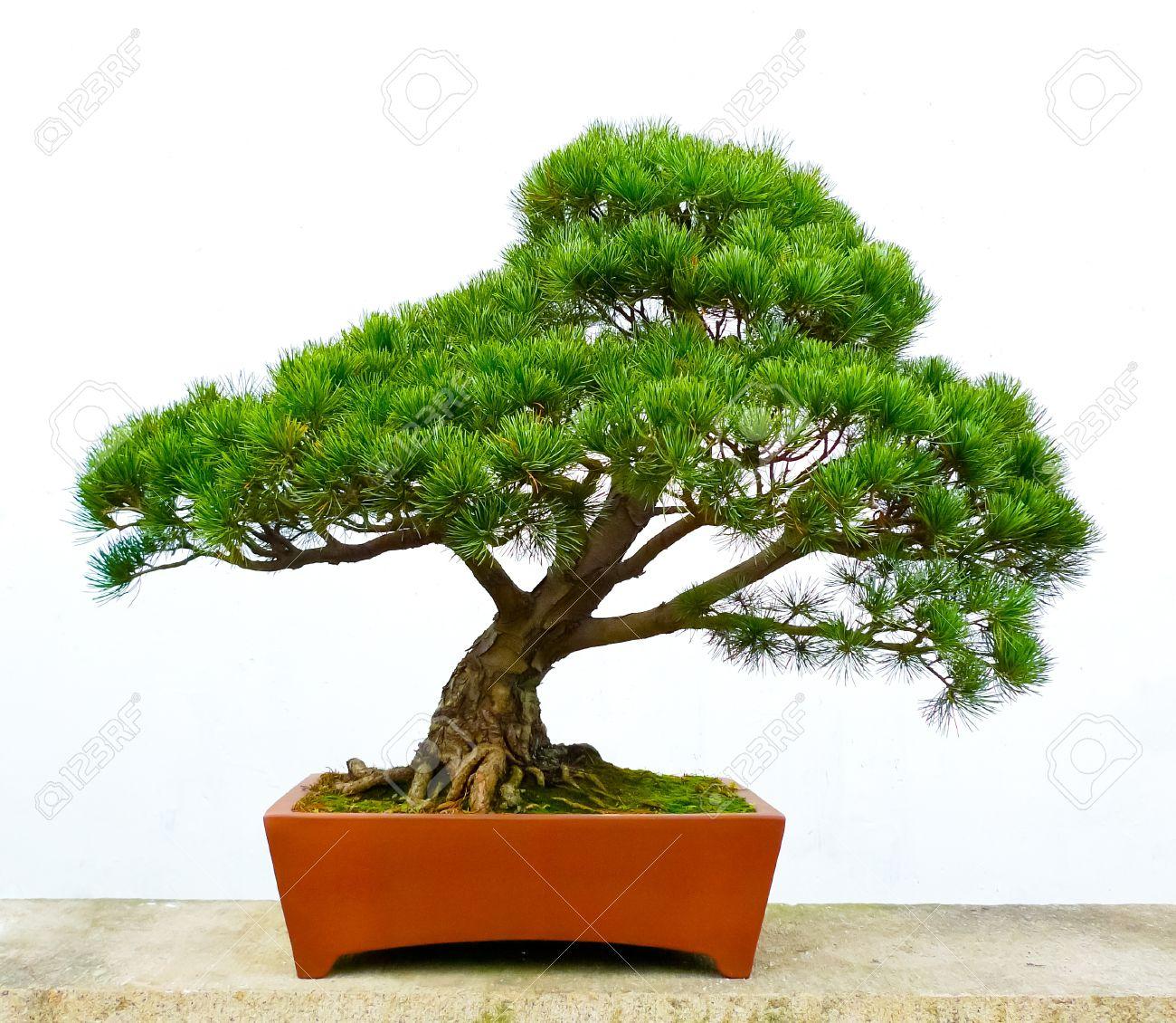 Bonsai pine tree against a white wall Standard-Bild - 17591861