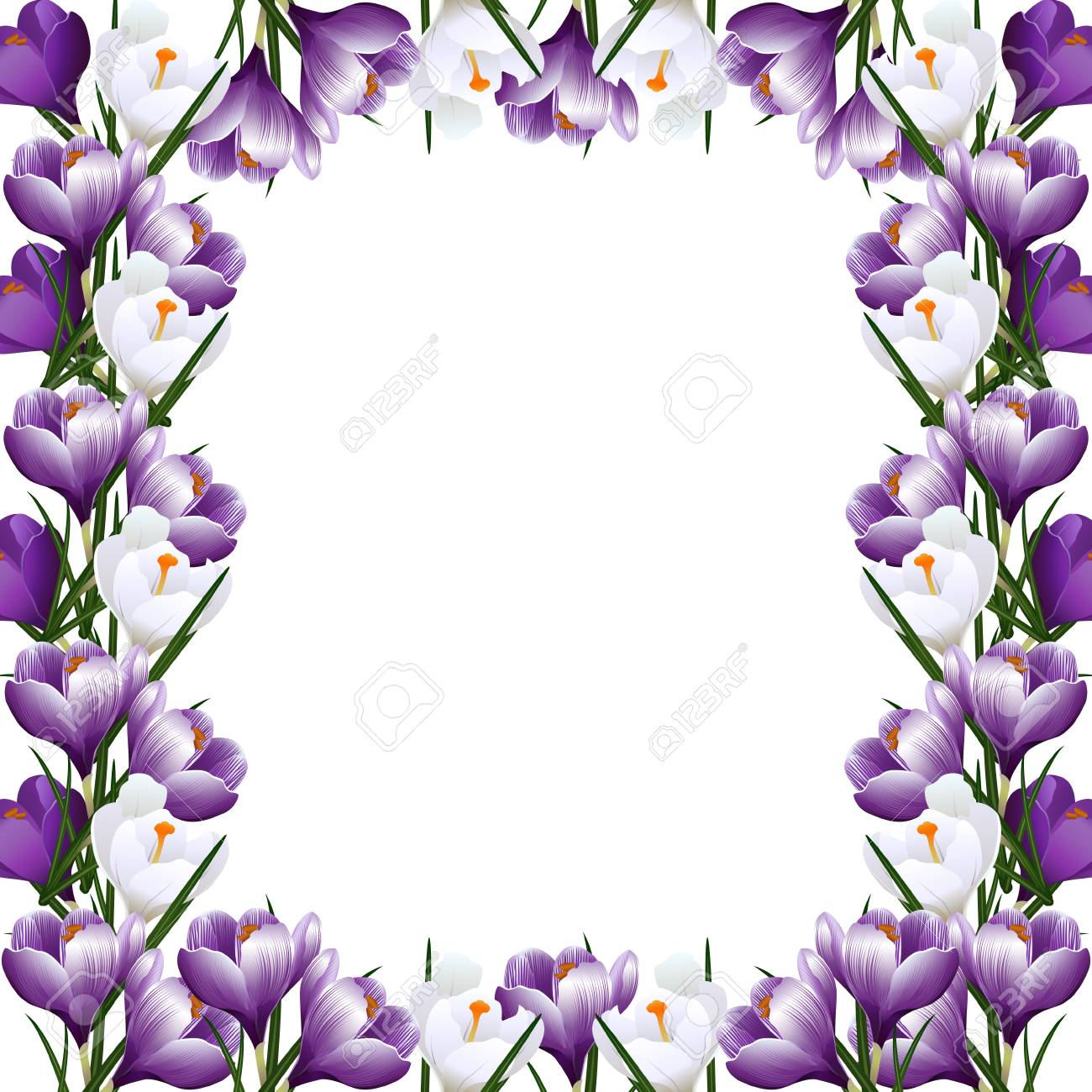 Frame With Purple Flowers Of Crocuses On A White Background Royalty