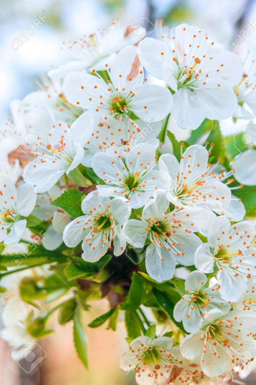 Printemps Avec Des Fleurs De Cerisier Blanches Fraiches D Avril