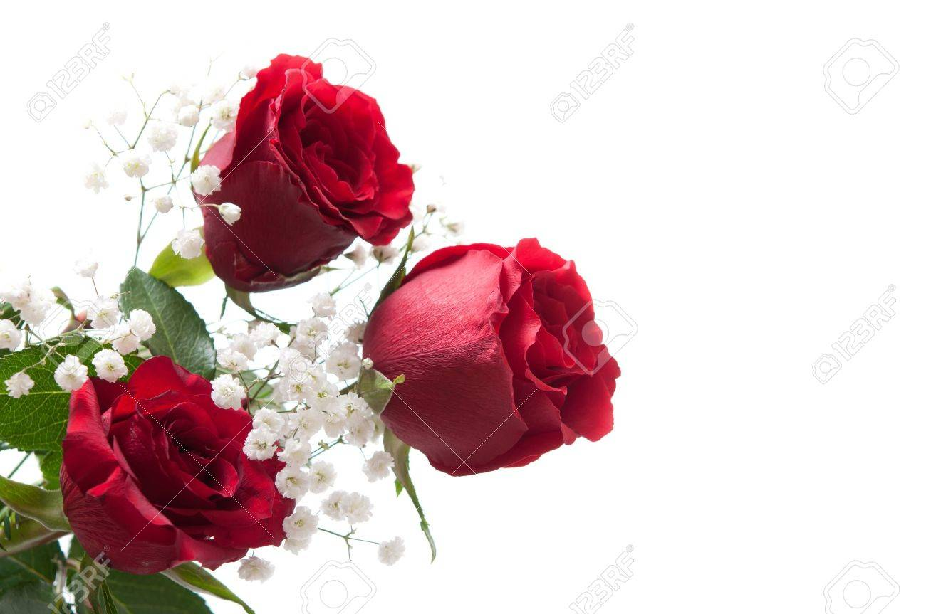 red roses on white Stock Photo - 8669715