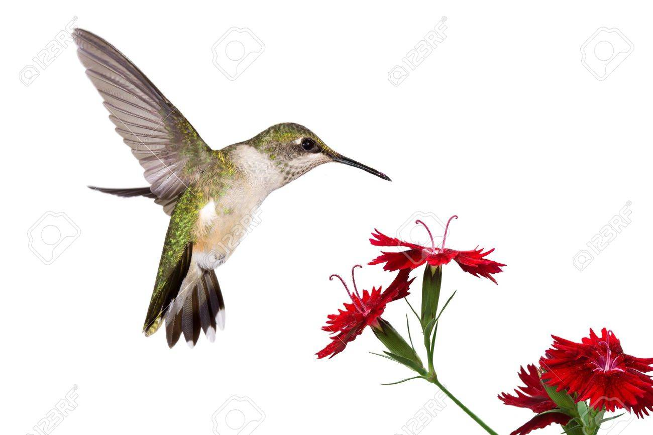 ruby throated hummingbird stock photos u0026 pictures royalty free