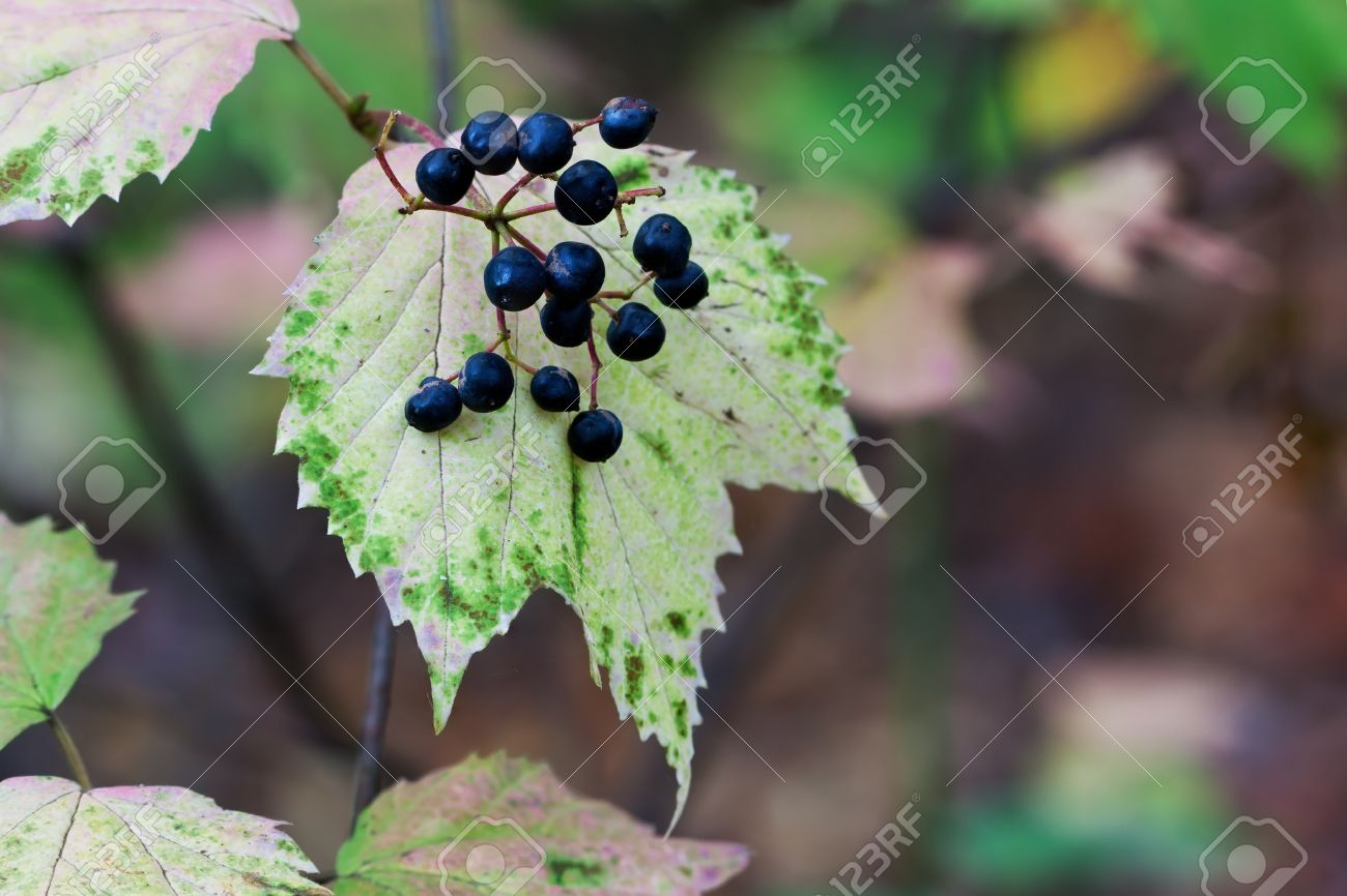 With Its Blue Berries Prominently Displayed, Maple Leaf Viburnum ...