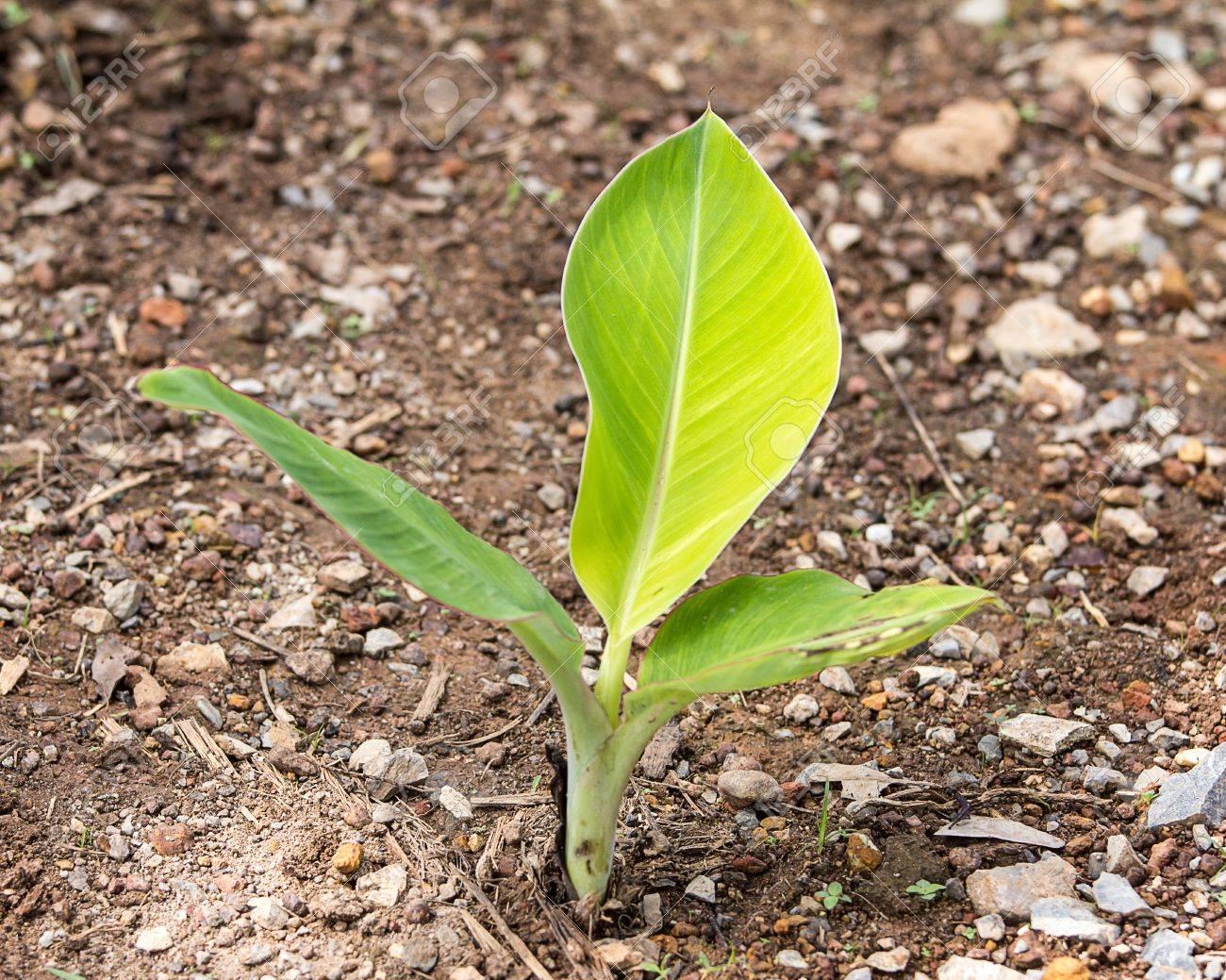 Pianta Di Banana Foto piante di banane sono utili negli alimenti. può essere assunto per via  orale. oppure fare molte altre cose.
