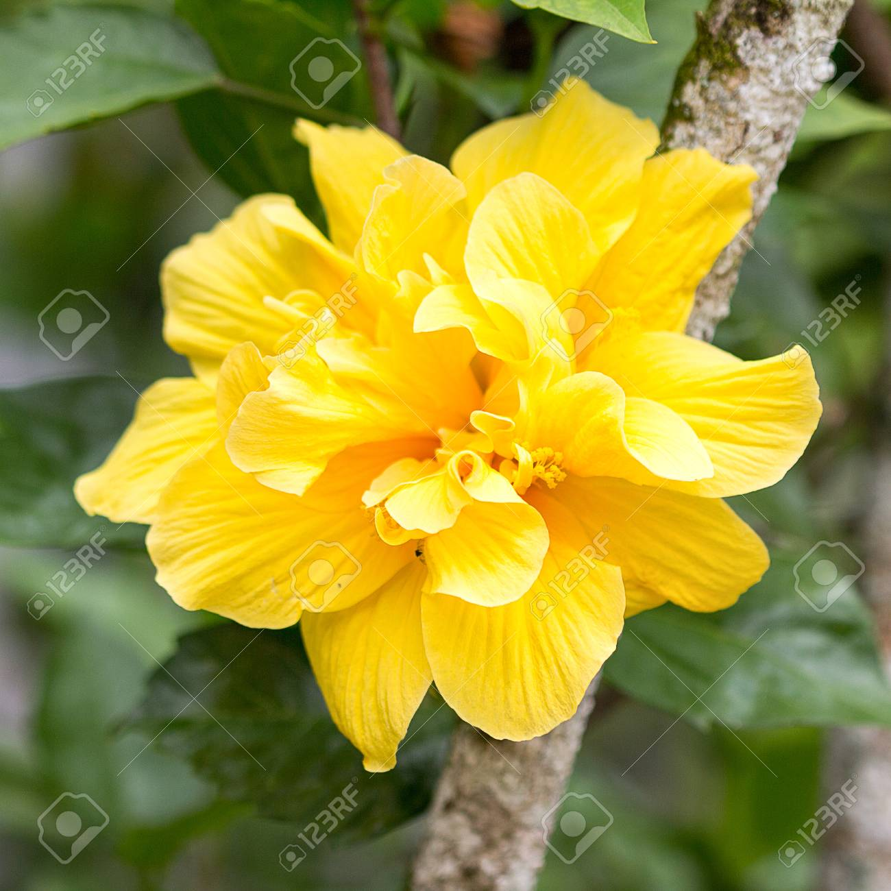 Yellow Hibiscus Flower On Tree Stock Photo Picture And Royalty Free