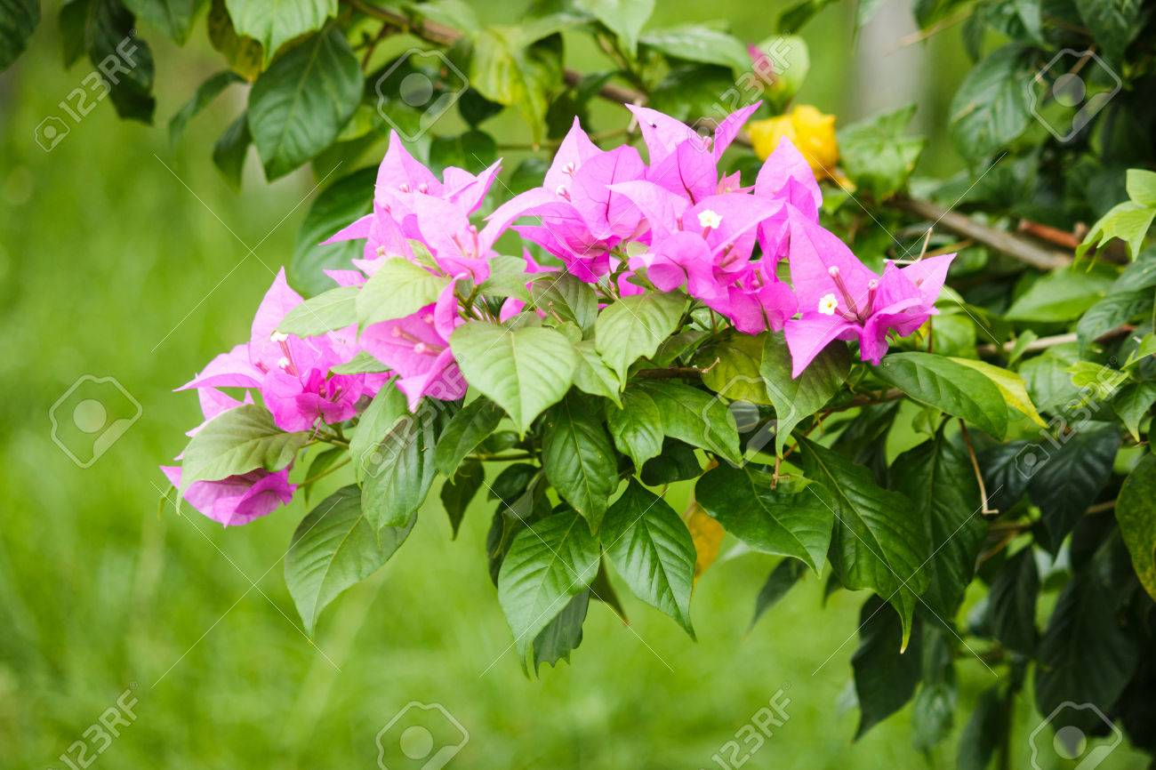 Bougainvillea Flowers Pink Green And White Stripes Stock Photo