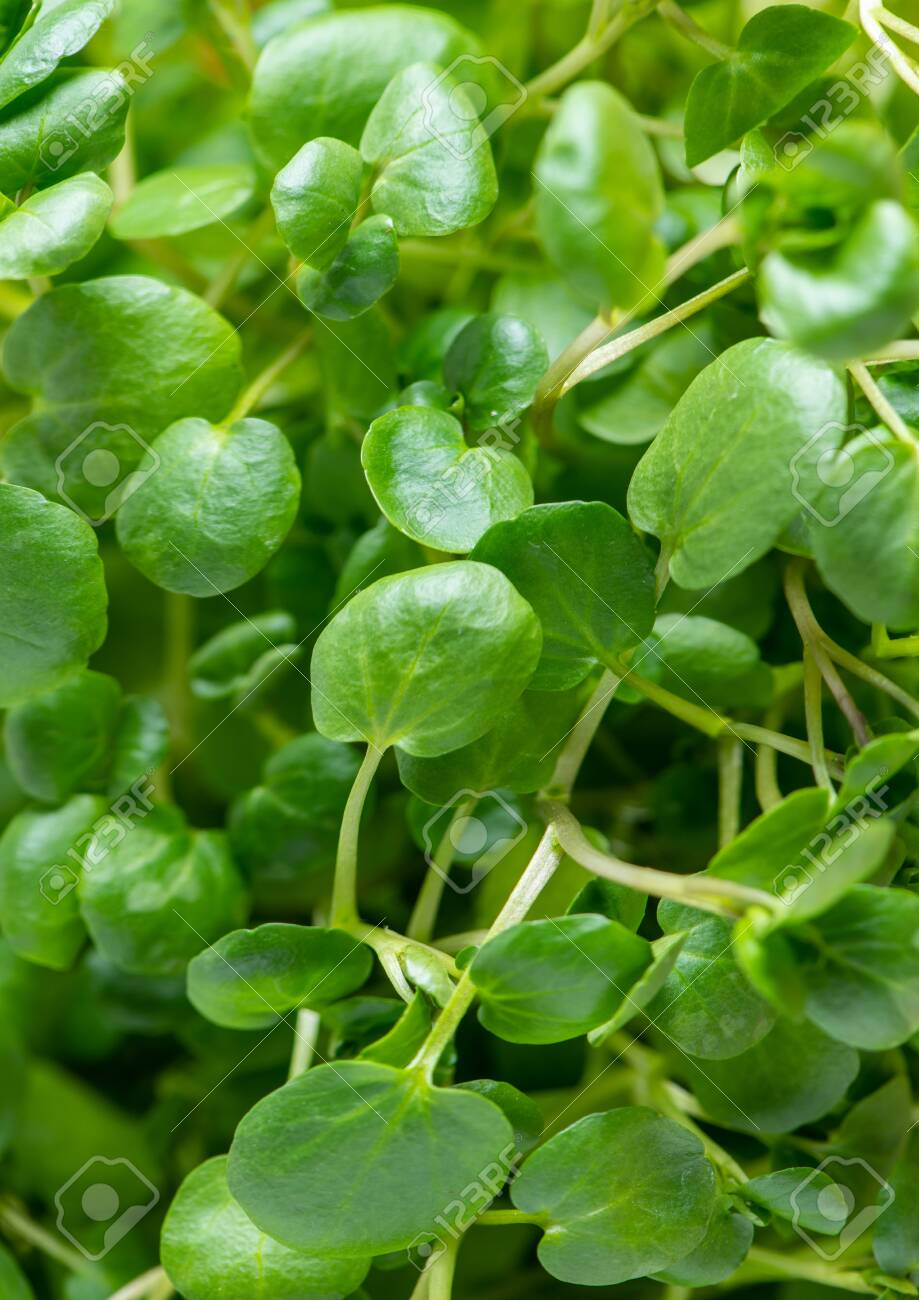 Green watercress wet leaves after watering. - 155259625