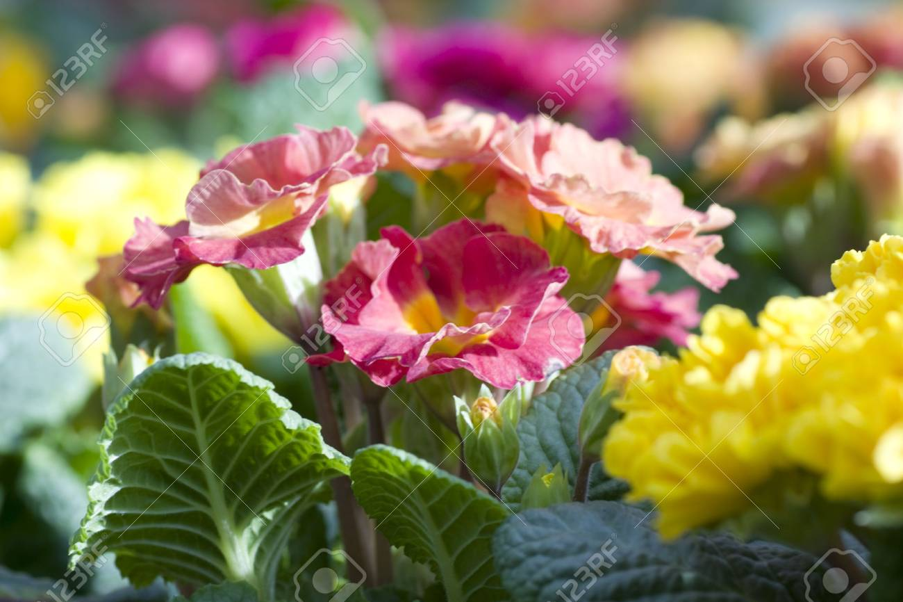 Primula pink and yellow flowers background stock photo picture and primula pink and yellow flowers background stock photo 43342319 mightylinksfo