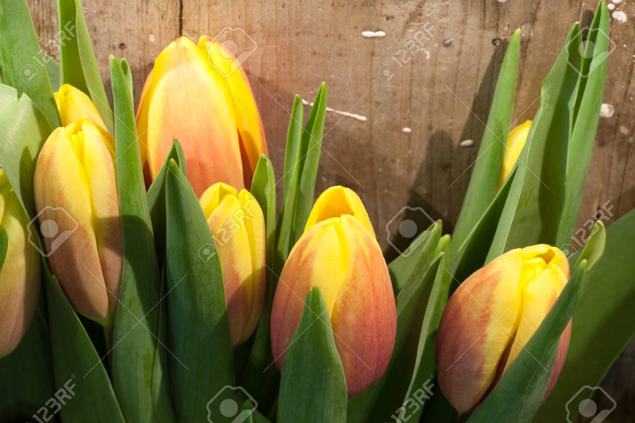 Tulips on an antique wooden background - 43356239