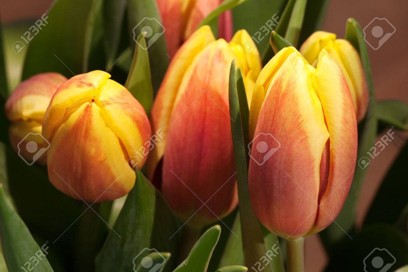 Tulips on an antique wooden background - 43358387
