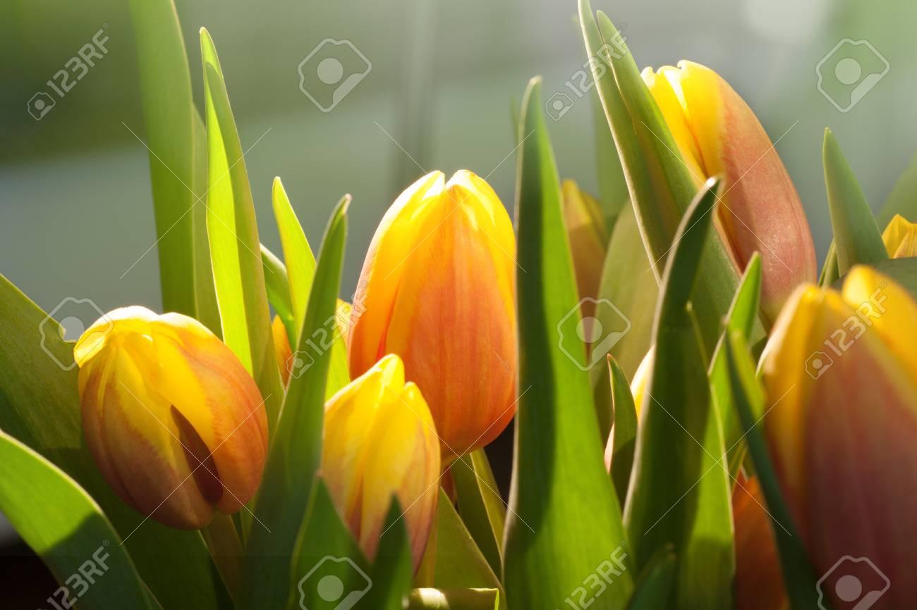 Bouquet of tulips in sunlight - 43359271