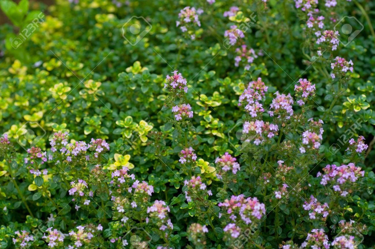 Différentes Variétés De Thym différentes variétés de thym herbes