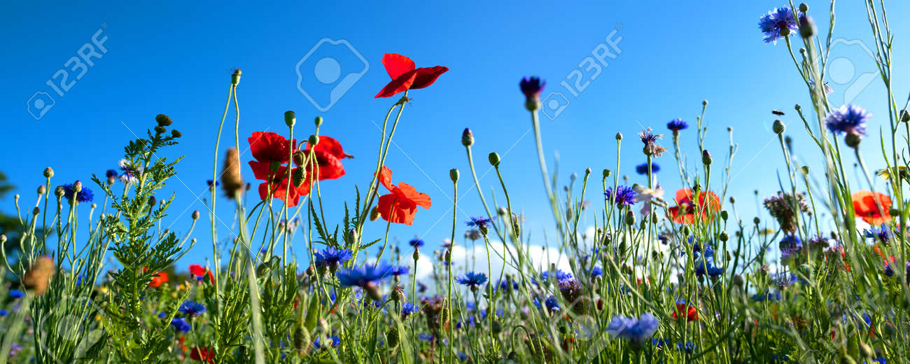 Colorful natural flower meadows landscape with blue sky in summer. Habitat for insects, wildflowers and wild herbs on a flower field. Background panorama with short depth of focus and space for text. - 151047456