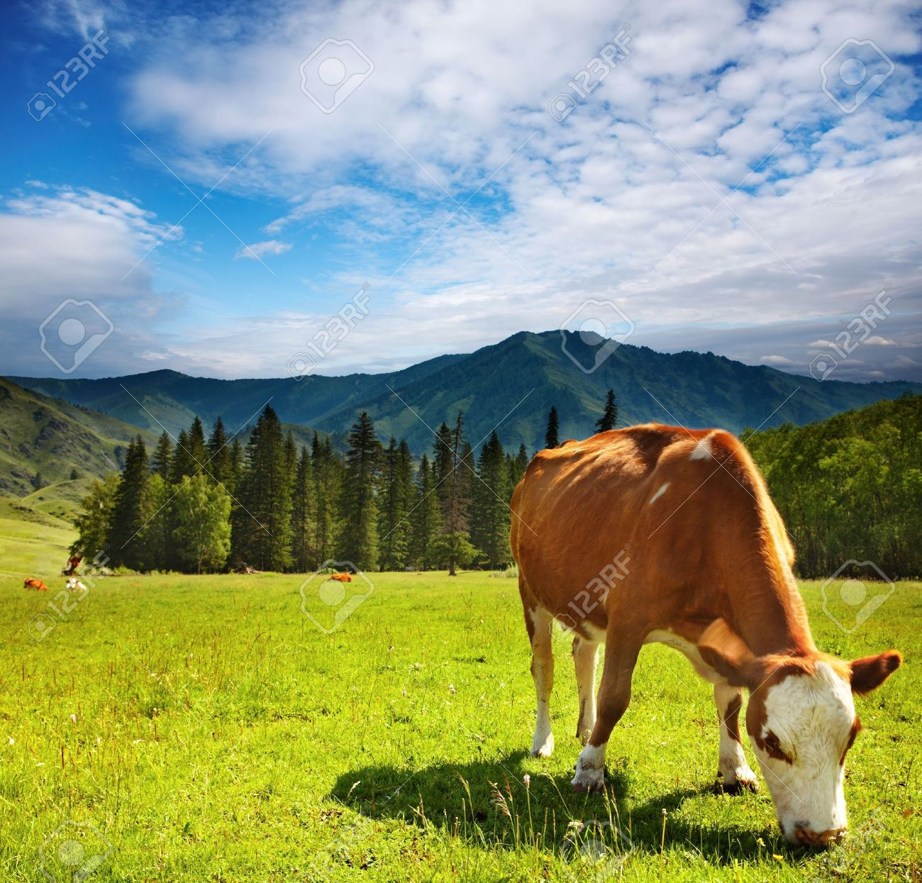 Rural landscape with grazing cow Stock Photo - 3634448
