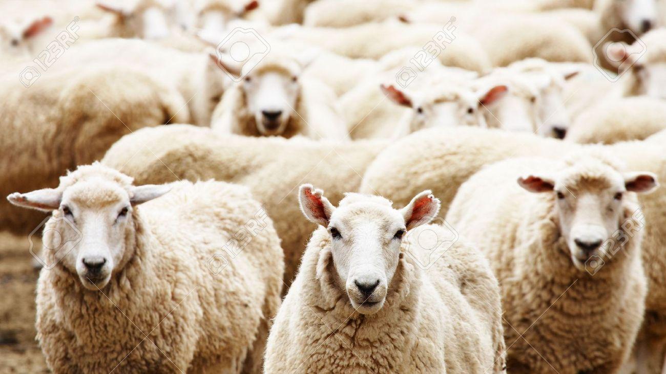Livestock farm, herd of sheep - 4811525