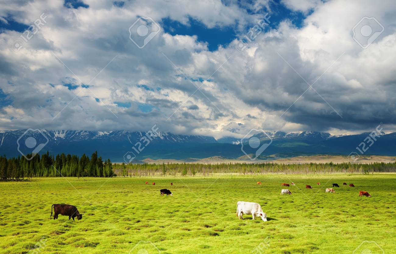 Mountain landscape with grazing cows and cloudy sky Stock Photo - 5657923