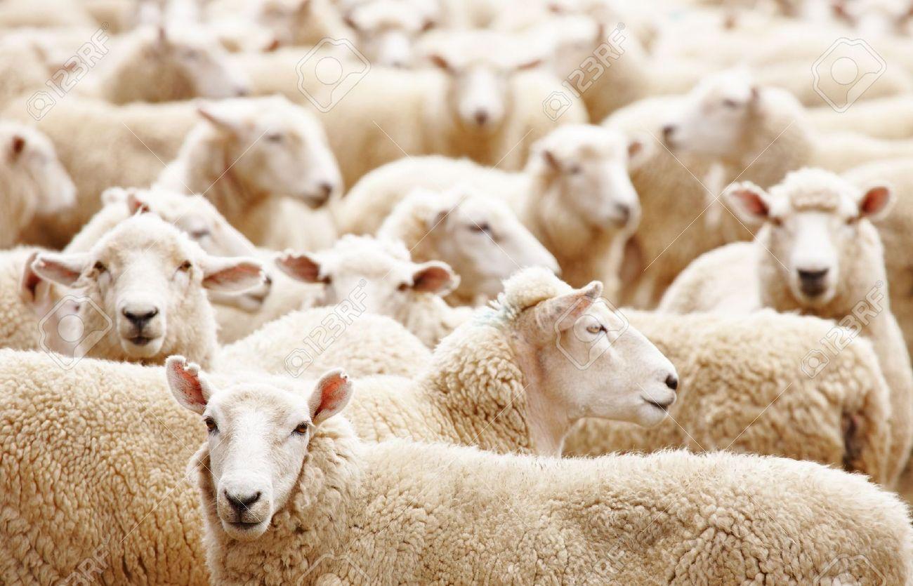 Livestock farm, Herd of sheep close up - 6806587