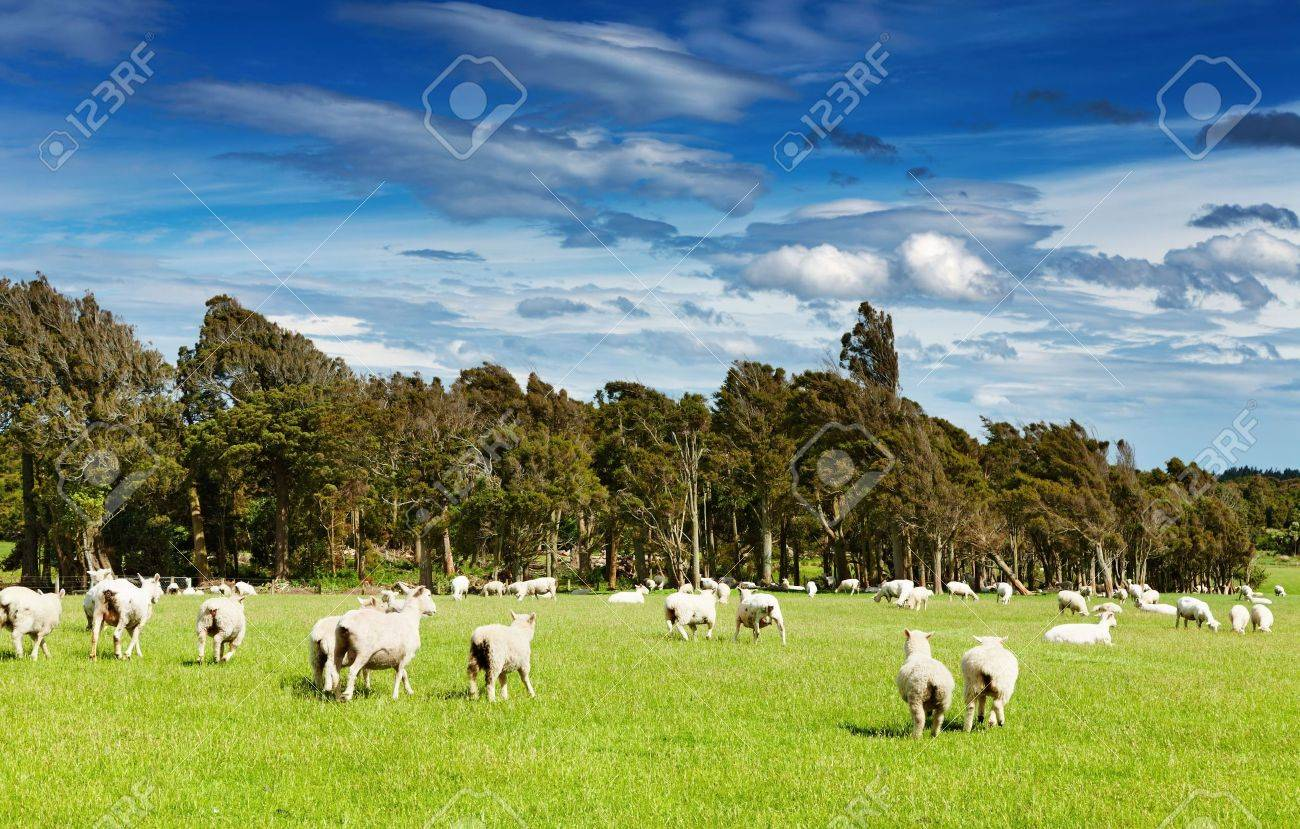 Green field and grazing sheep, New Zealand - 6884393