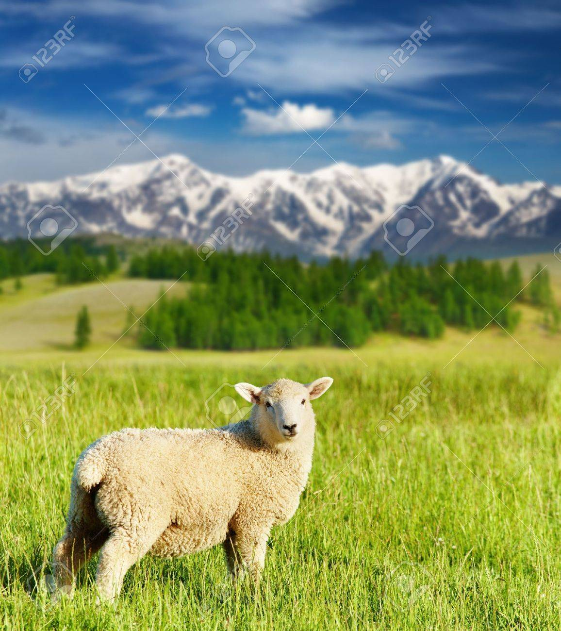 Landscape with grazing lamb and snowy mountains - 7596754