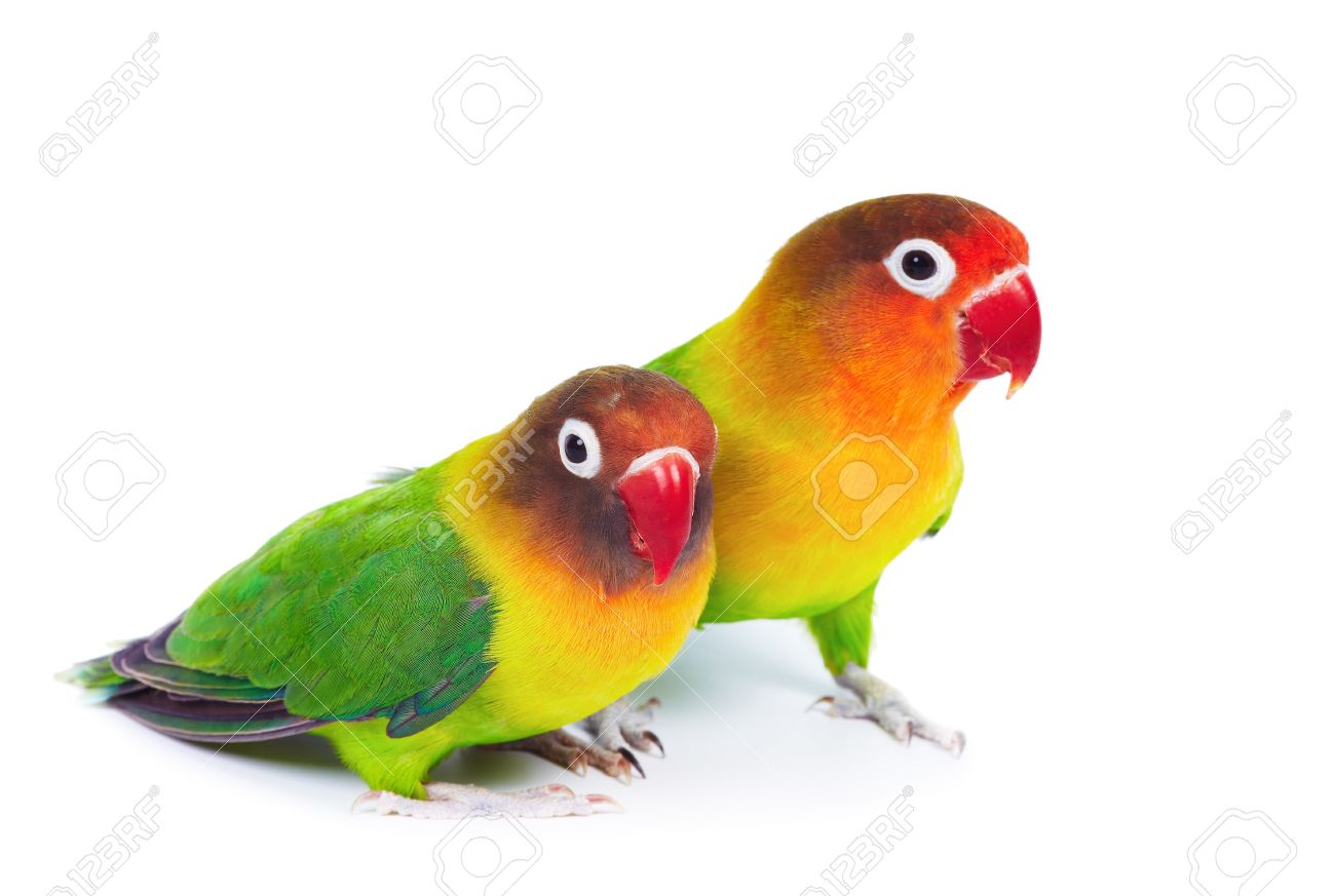 Pair of lovebirds agapornis-fischeri isolated on white Stock Photo - 8677710