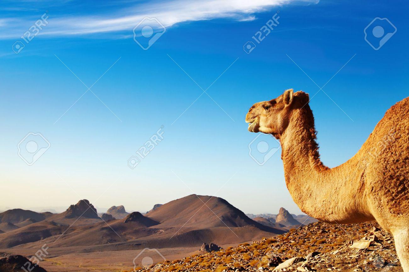 Camel in Sahara Desert, Hoggar Mountains, Algeria Stock Photo - 9025624
