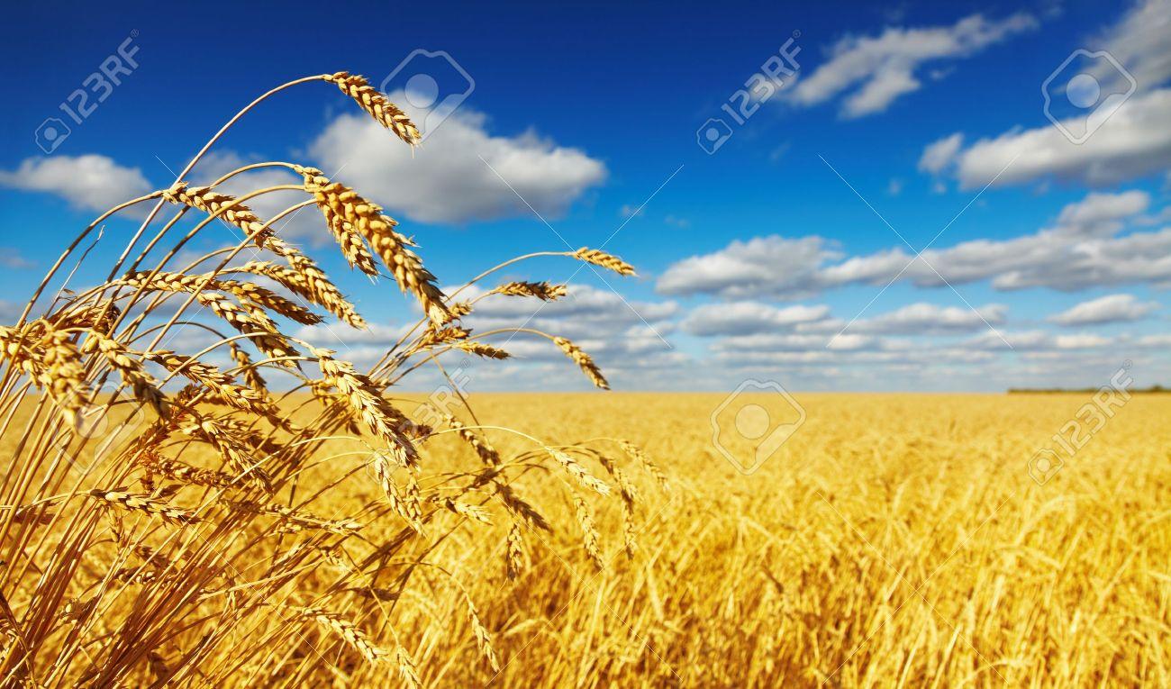 поле пшеницы картинки