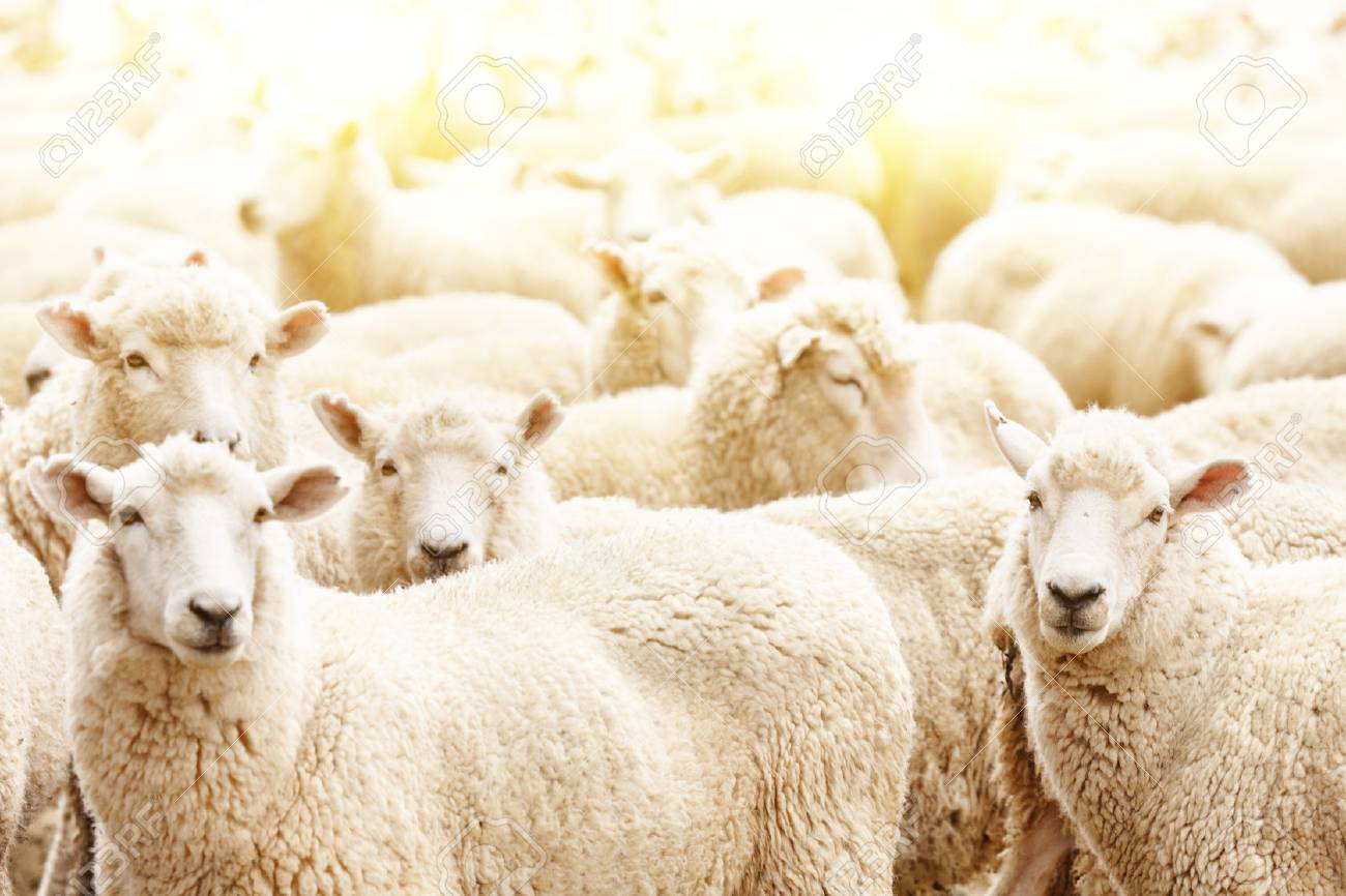 Livestock farm, flock of sheep - 70261324