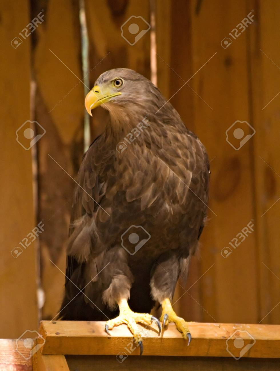 Photo of golden eagle made at the birds nursery in Sysert, Russia Stock Photo - 3987675