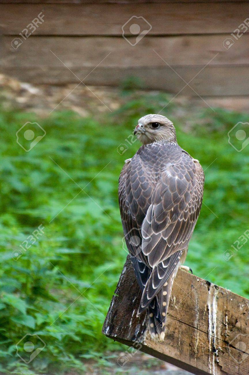 Photo of young gyrfalcon resting after lunch Stock Photo - 3988275