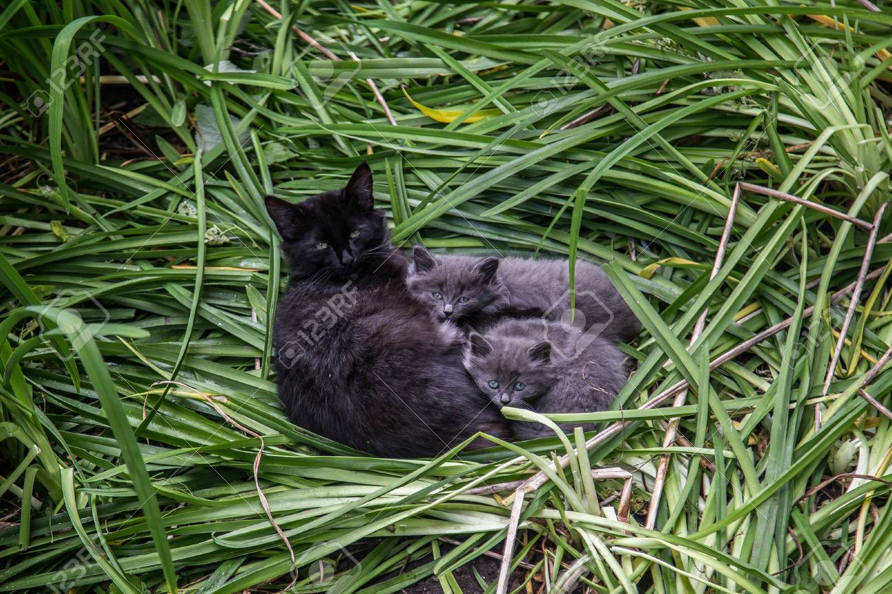 Cat S Family Cute Lovely Fluffy Black Cat With Two Gray Kittens Stock Photo Picture And Royalty Free Image Image 98785927