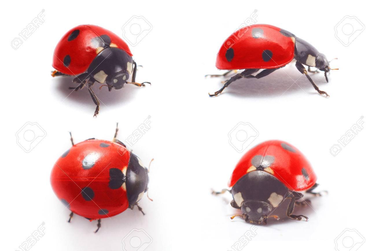 ladybug isolated on white background - 40136773