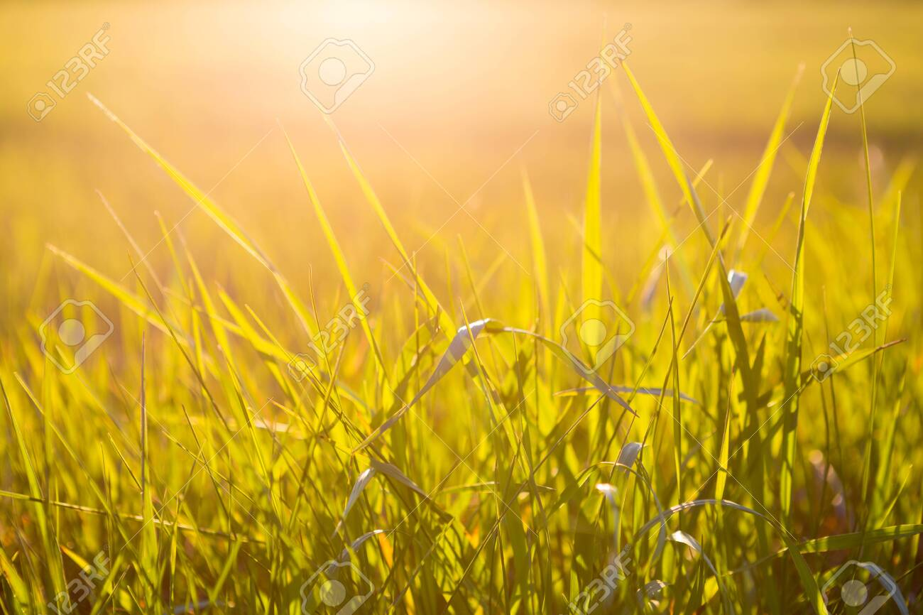 Green grass close up at sunrise or sunset with sun rays - 145102291
