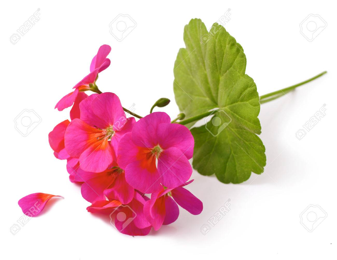 Geranium Pelargonium Flowers On White Background Stock Photo