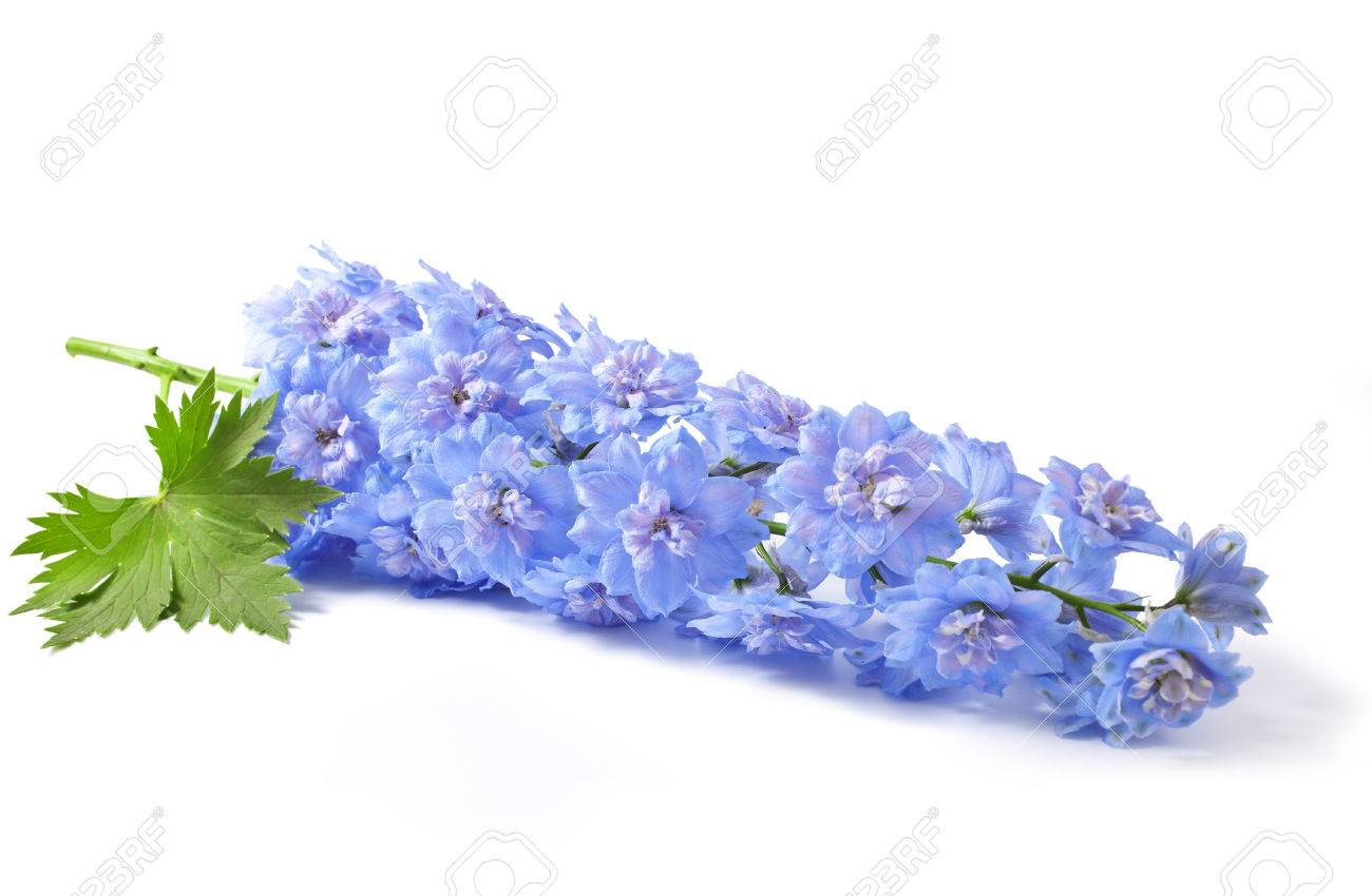 Blue delphinium flower with green leaves on white background stock blue delphinium flower with green leaves on white background stock photo 34330243 mightylinksfo