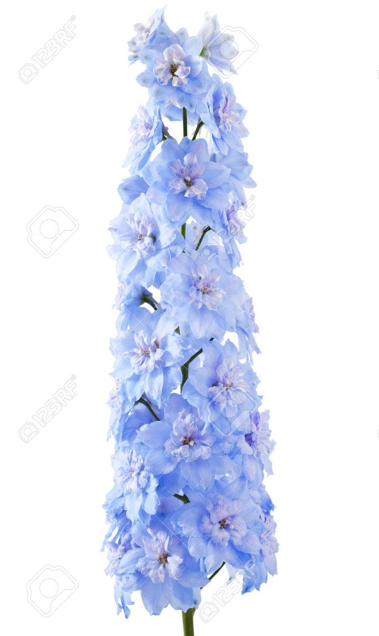 Blue Delphinium Flower With Green Leaves On White Background Royalty