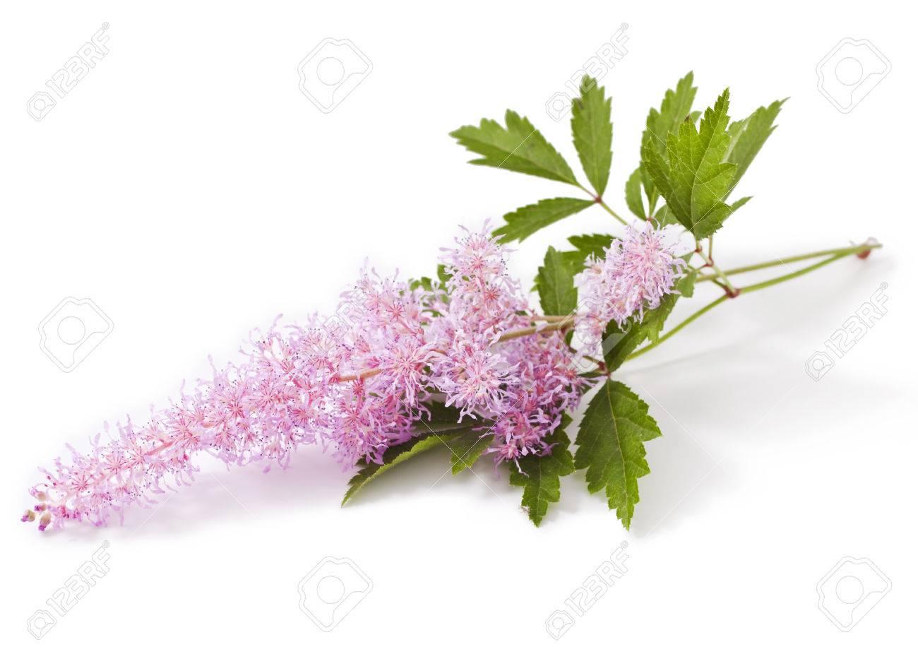 fleur rose astilbe isolé sur fond blanc banque d'images et photos