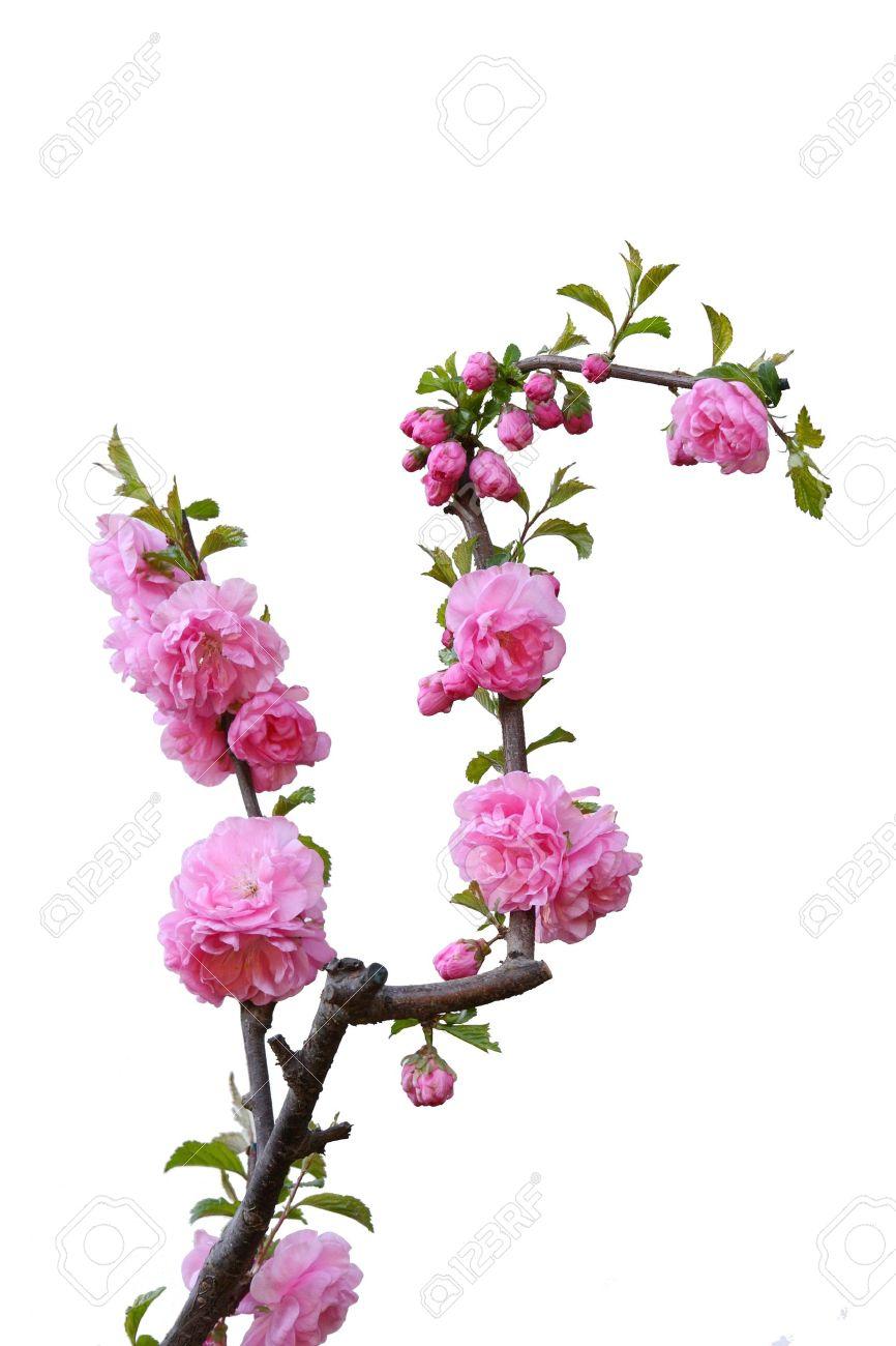 Beautiful blossom peach flowers Stock Photo - 10695176