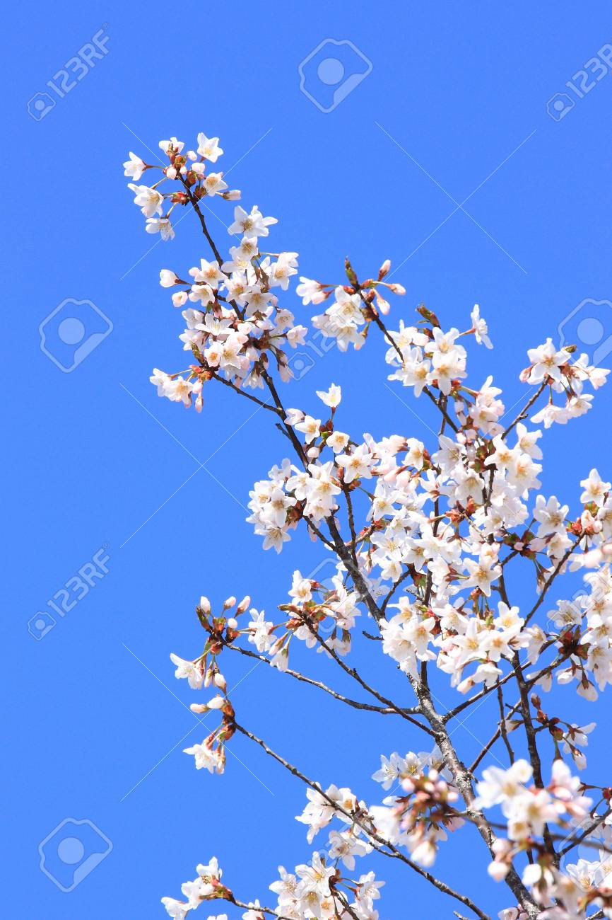 cherry flower with blue sky Stock Photo - 10695666