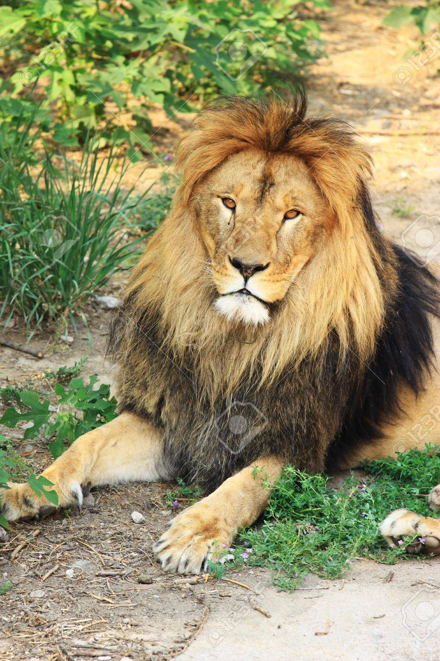 The  portrait of a lion head Stock Photo - 10853515