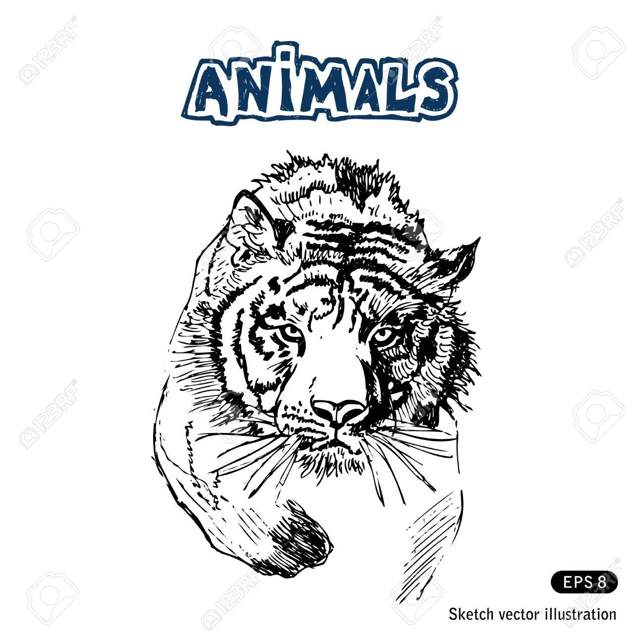 Tiger  Hand drawn vector isolated on white Stock Vector - 14290110