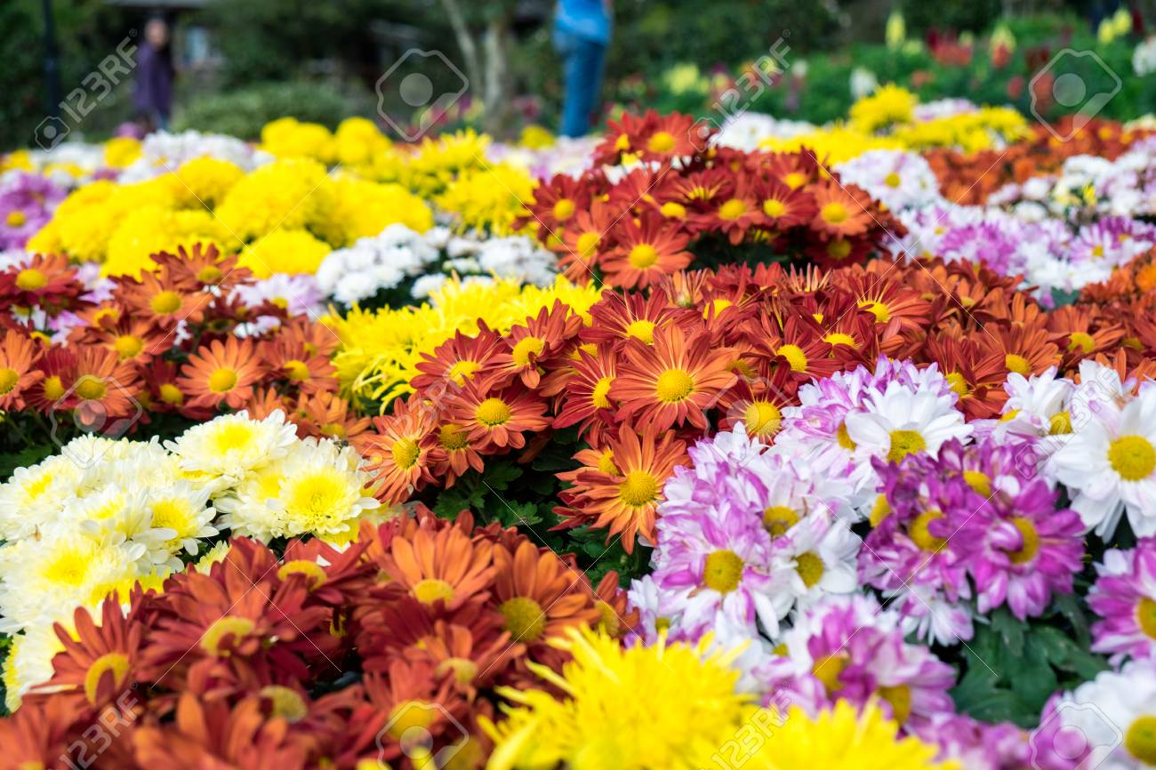 Chrysanthemum Colorful Flowers In Festival Winter Garden Stock Photo ...