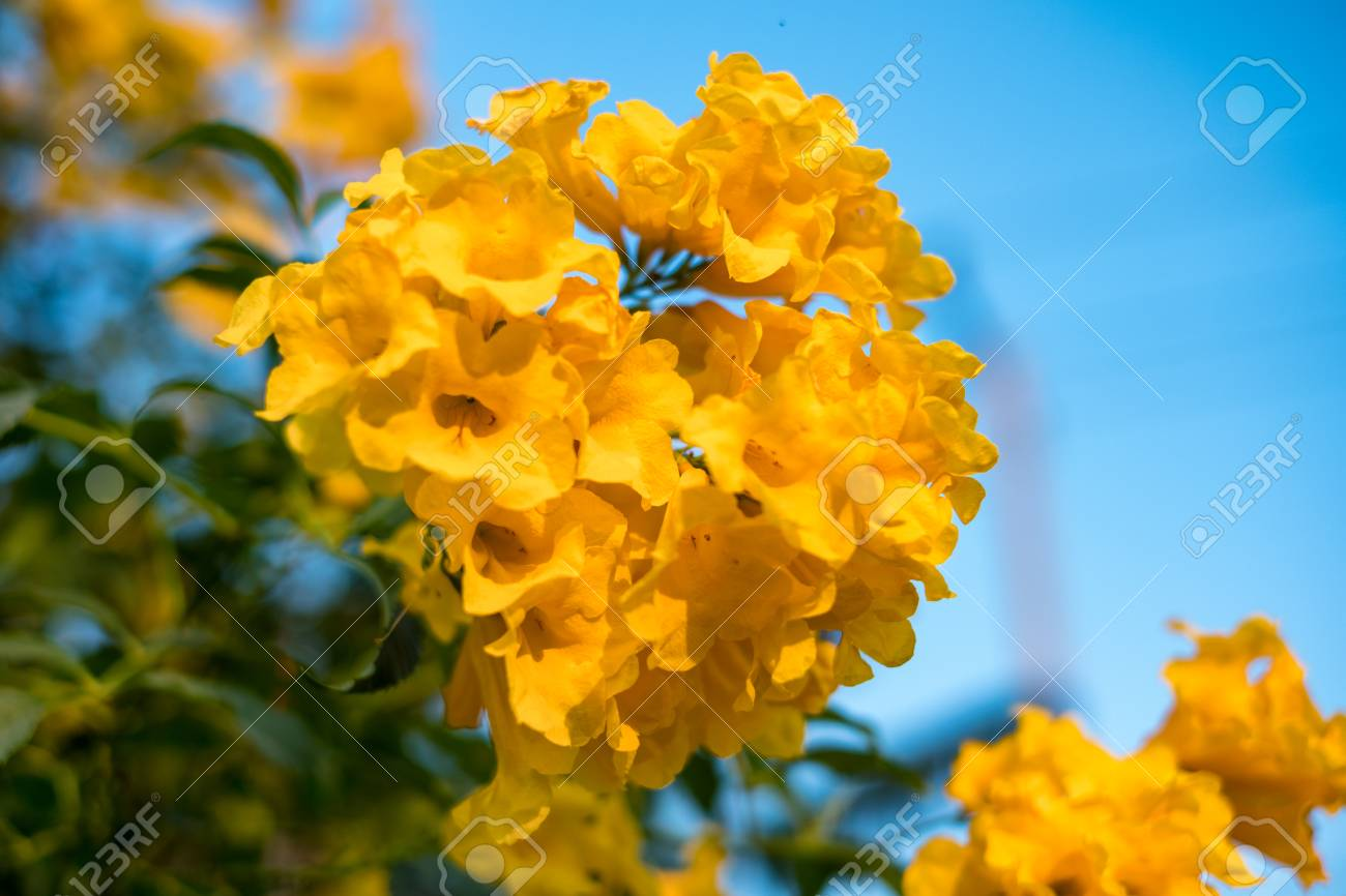 Yellow bell yellow elder trumpet bush tree bouquet leaves stock stock photo yellow bell yellow elder trumpet bush tree bouquet leaves mightylinksfo