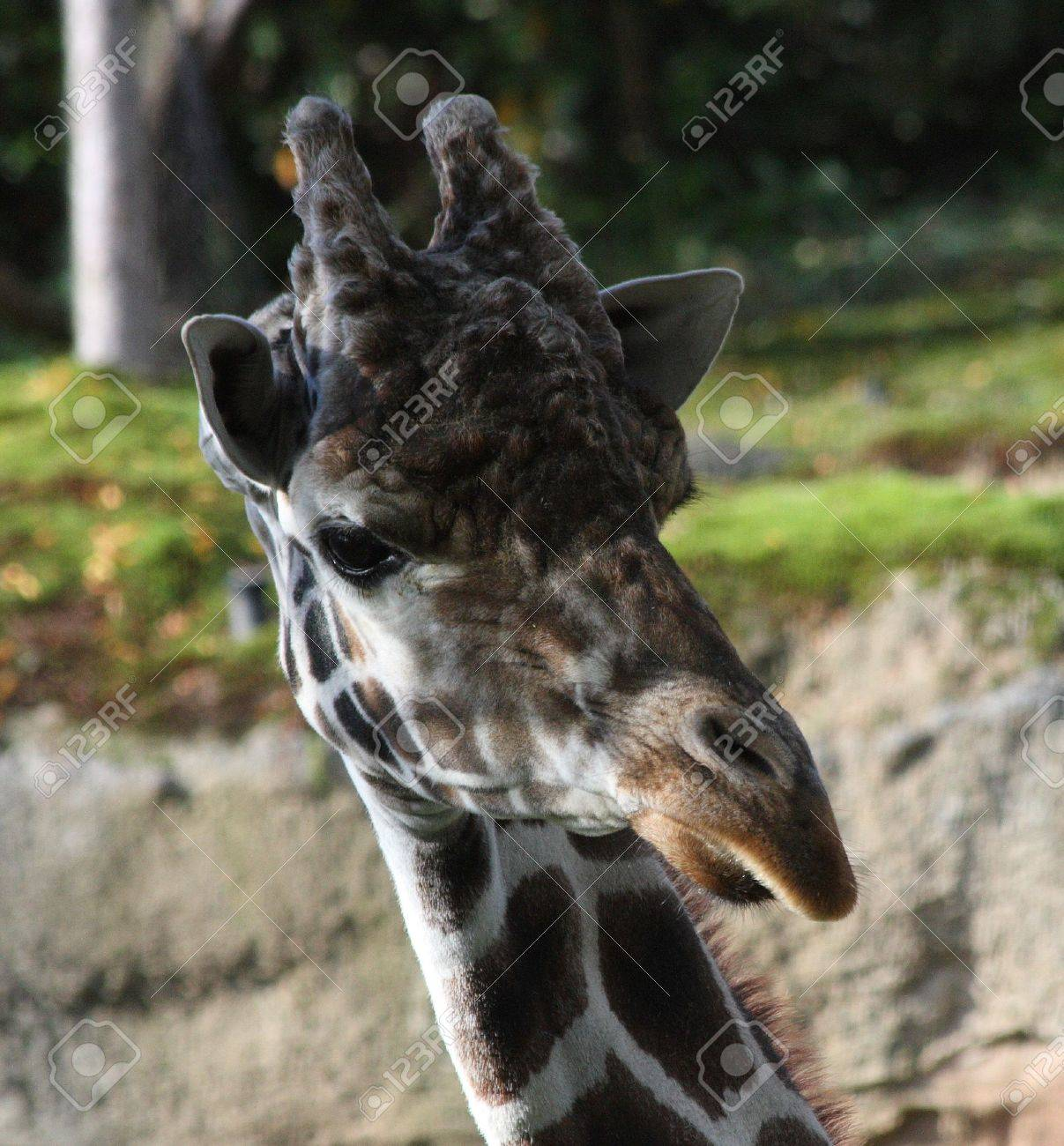 Giraffe at Oregon Zoo, Portland Stock Photo - 7280418