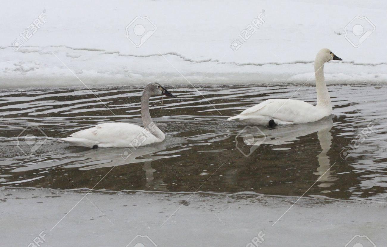 Tundra Swan @ Lower Klamath Wildlife Refuge, CA Stock Photo - 7361364